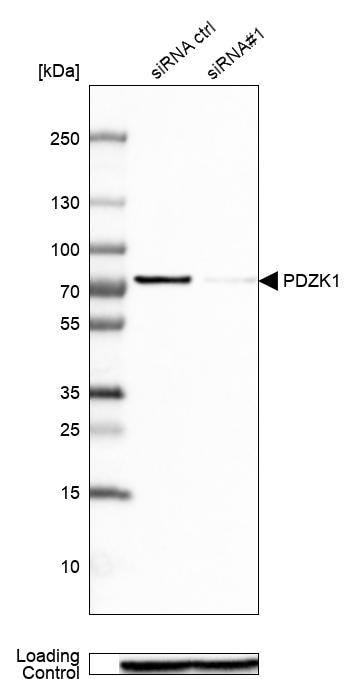 PDZK1 Antibody in Knockdown