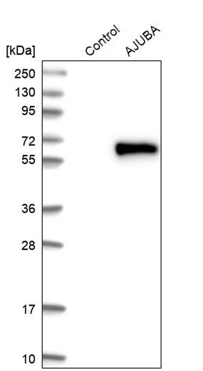AJUBA Antibody in Western Blot (WB)