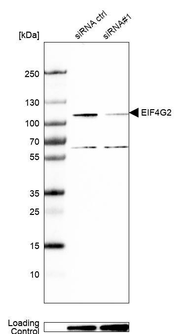 DAP5 Antibody in KnockDown