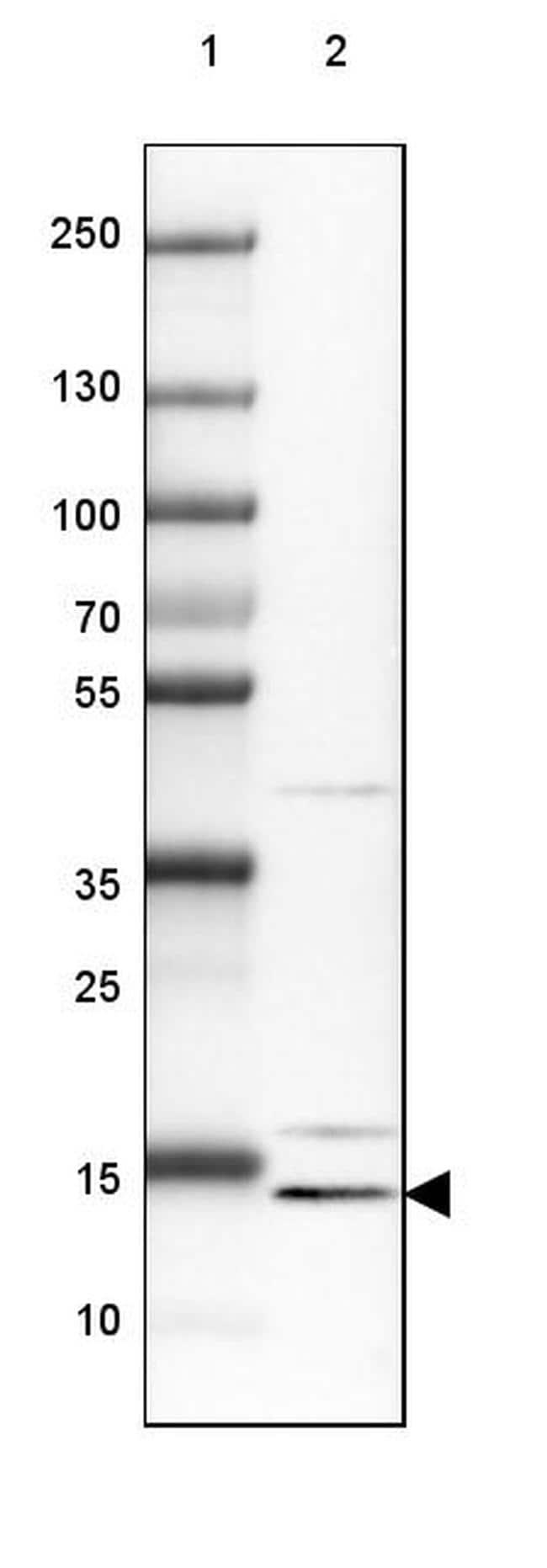 CRCP Antibody in Western Blot (WB)