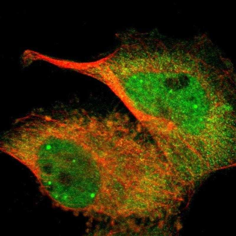 WWTR1 Antibody in Immunofluorescence (IF)