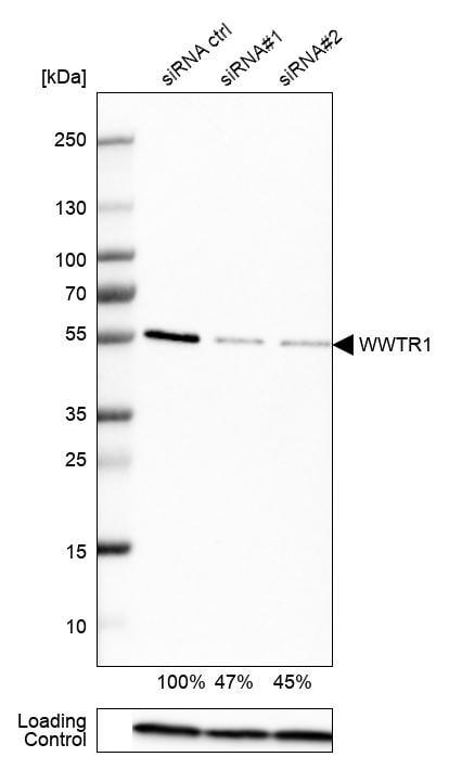 WWTR1 Antibody in Knockdown