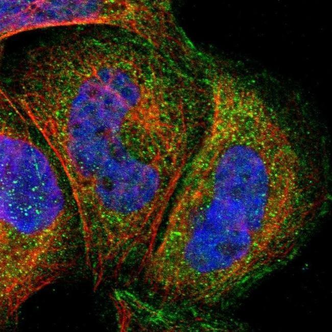 MLK4 Antibody in Immunocytochemistry (ICC/IF)