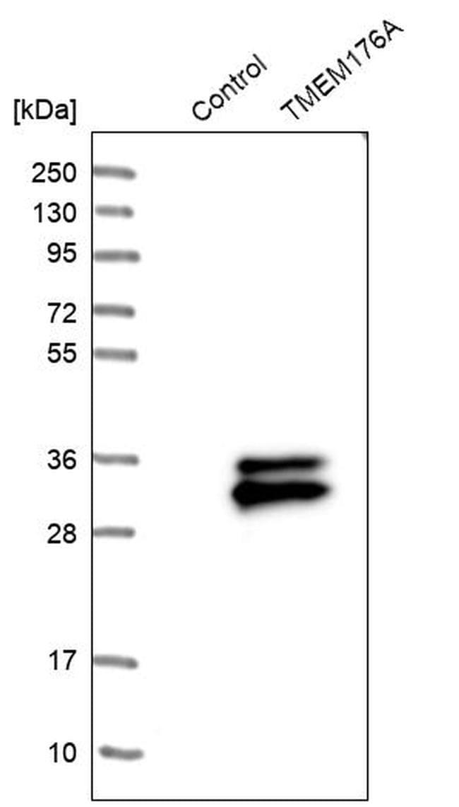 TMEM176A Antibody in Western Blot (WB)