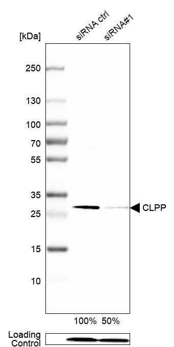 CLPP Antibody in Knockdown