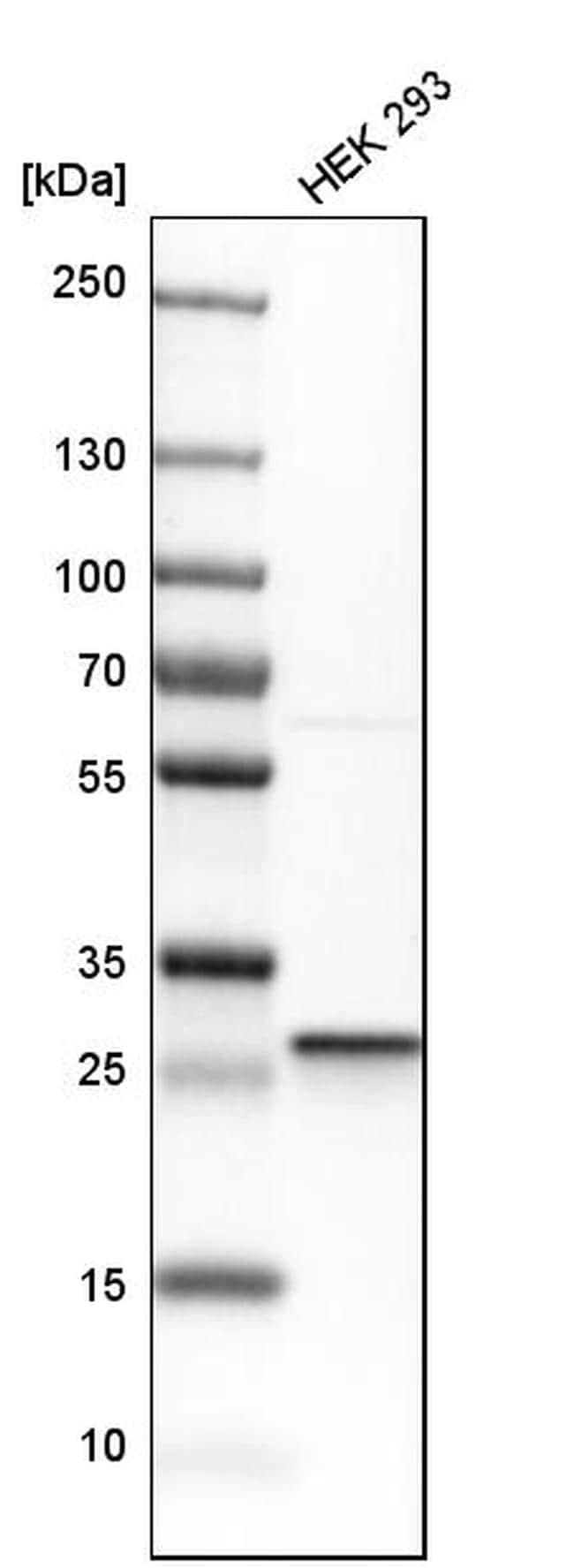 CLPP Antibody in Western Blot (WB)