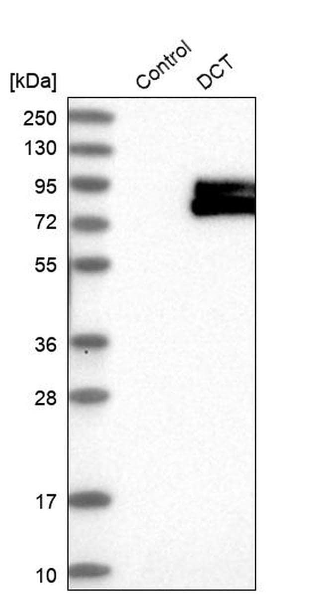 DCT Antibody in Western Blot (WB)