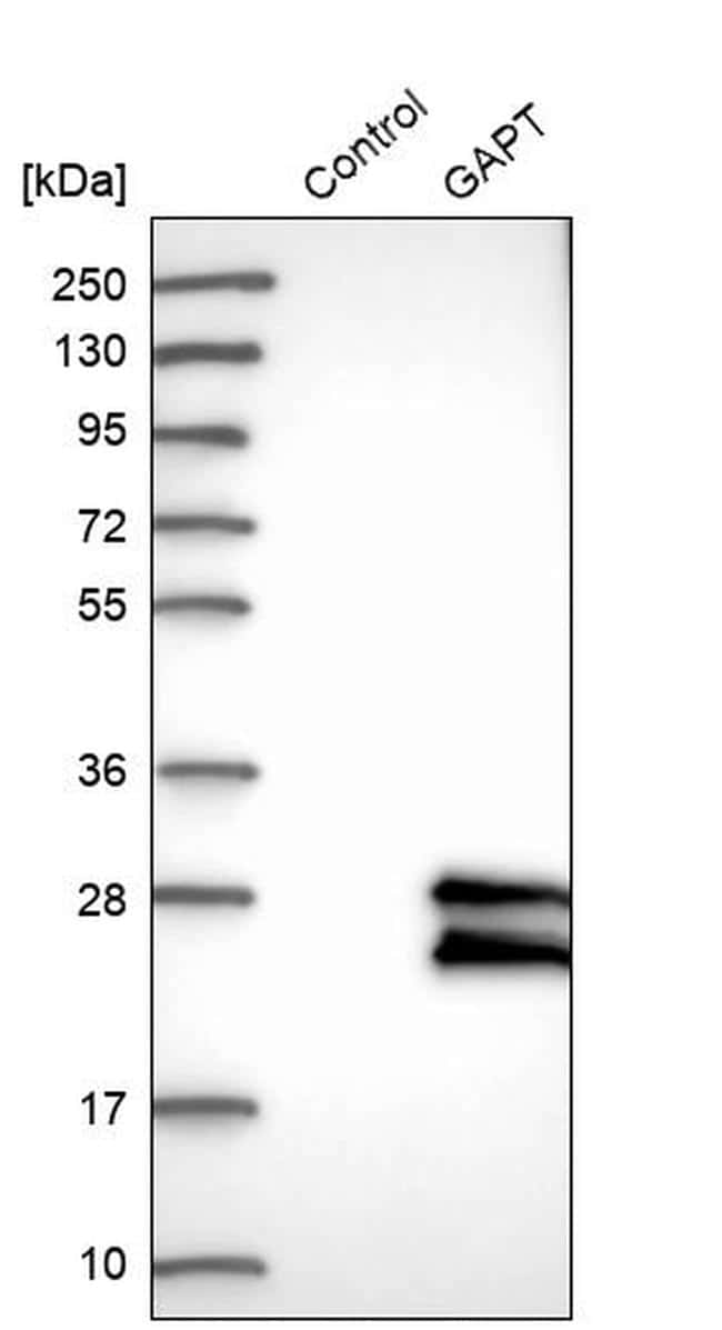 GAPT Antibody in Western Blot (WB)