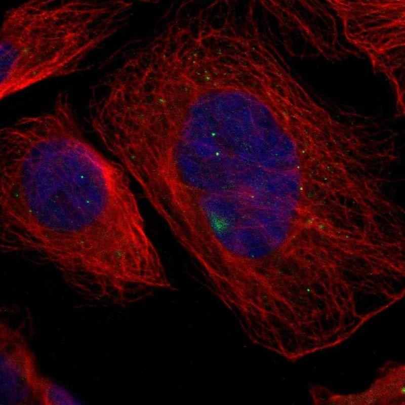 GCM1 Antibody in Immunofluorescence (IF)