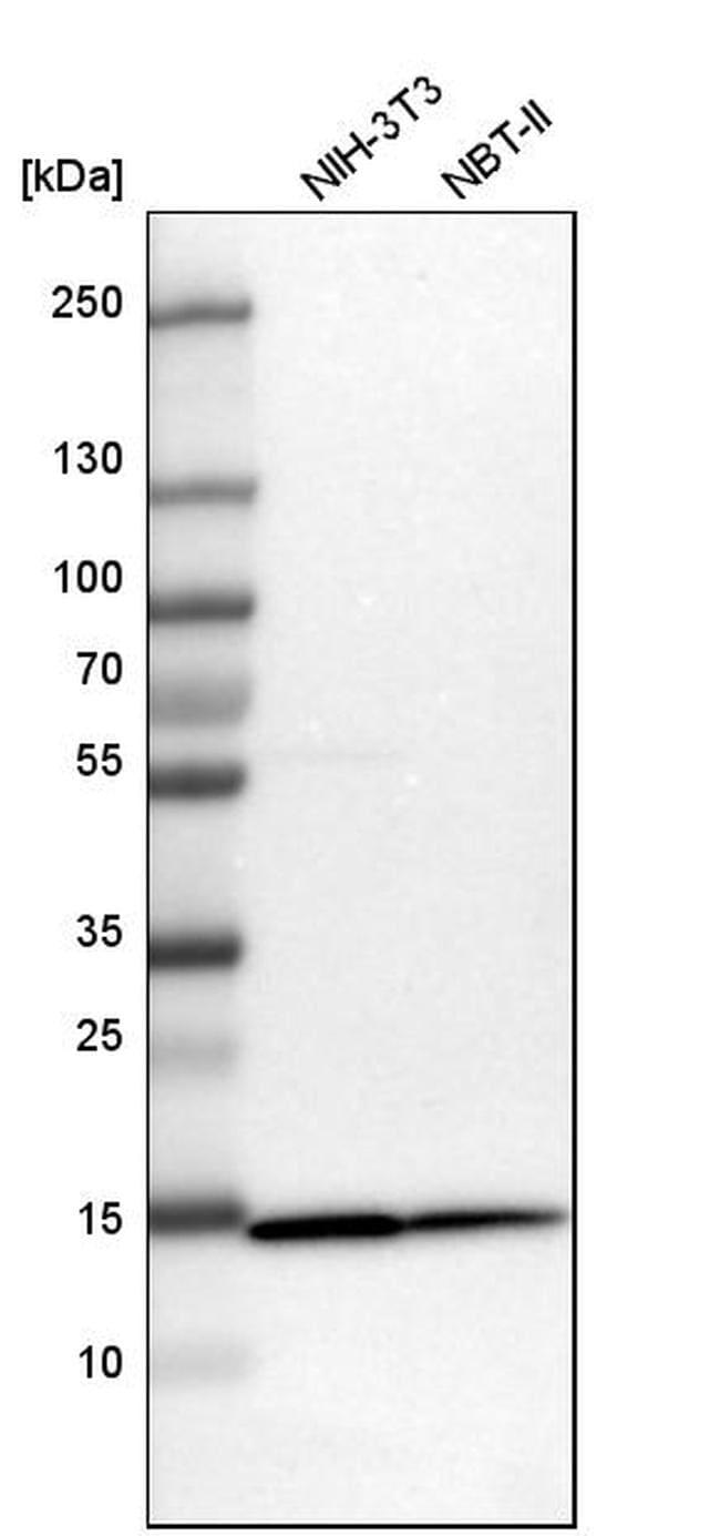 TOMM20 Antibody in Western Blot (WB)