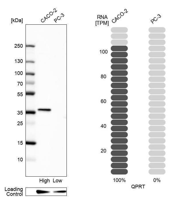 QPRT Antibody in Western Blot (WB)