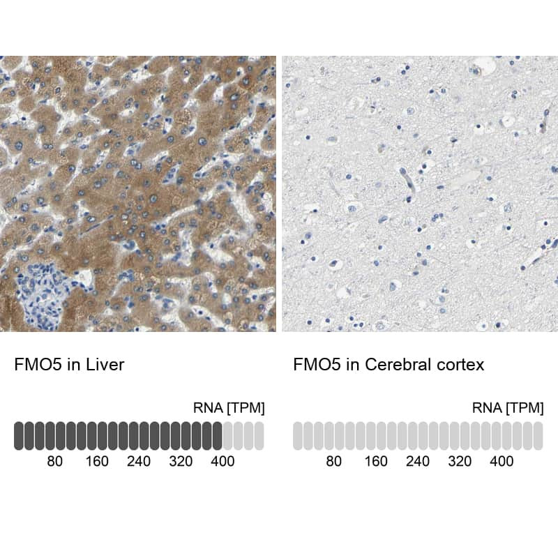 FMO5 Antibody in Relative expression