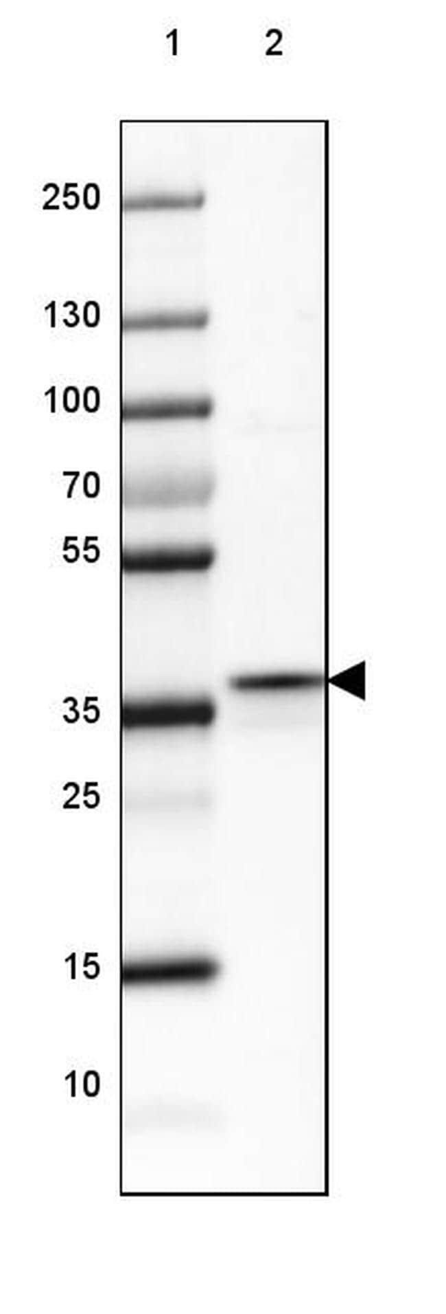 FBP1/FBP2 Antibody in Western Blot (WB)
