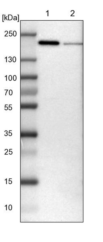 UGGT1 Antibody in Western Blot (WB)