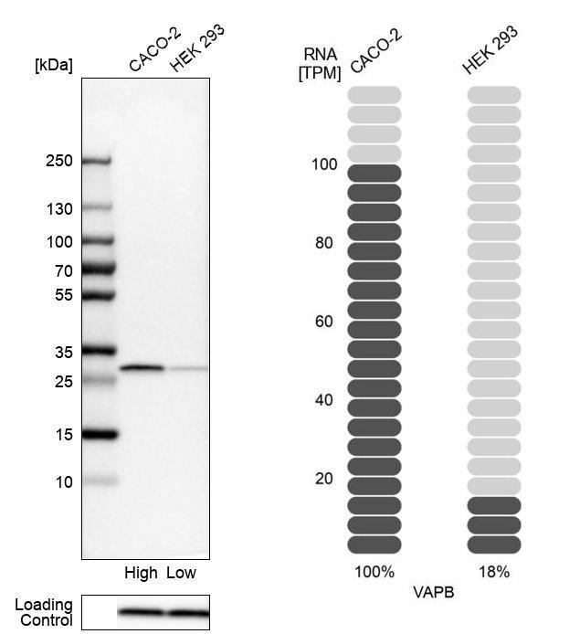 VAPB Antibody in Relative expression