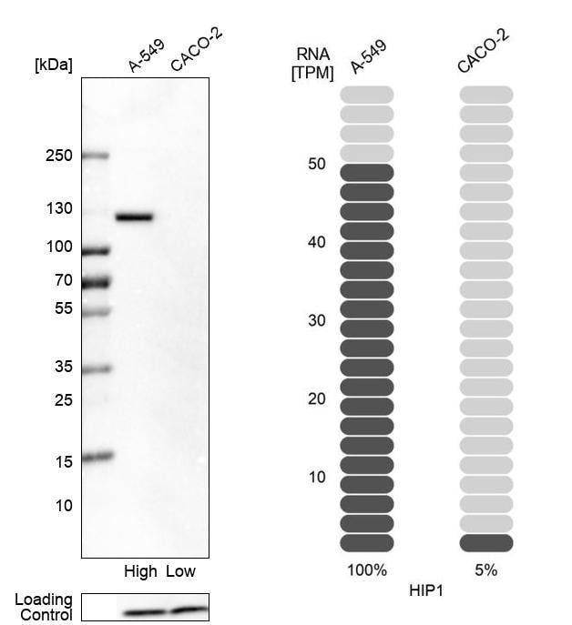HIP1 Antibody in Relative expression