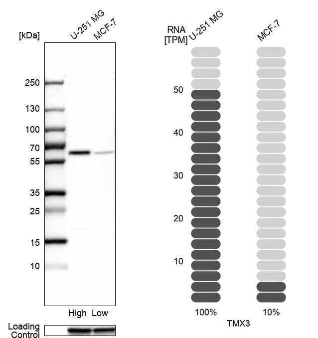 TMX3 Antibody in Western Blot (WB)