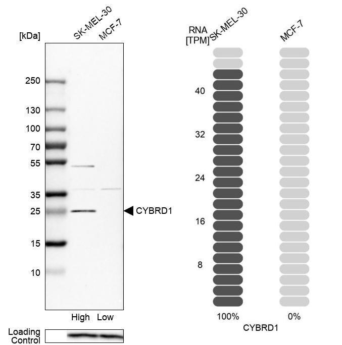 CYBRD1 Antibody in Relative expression