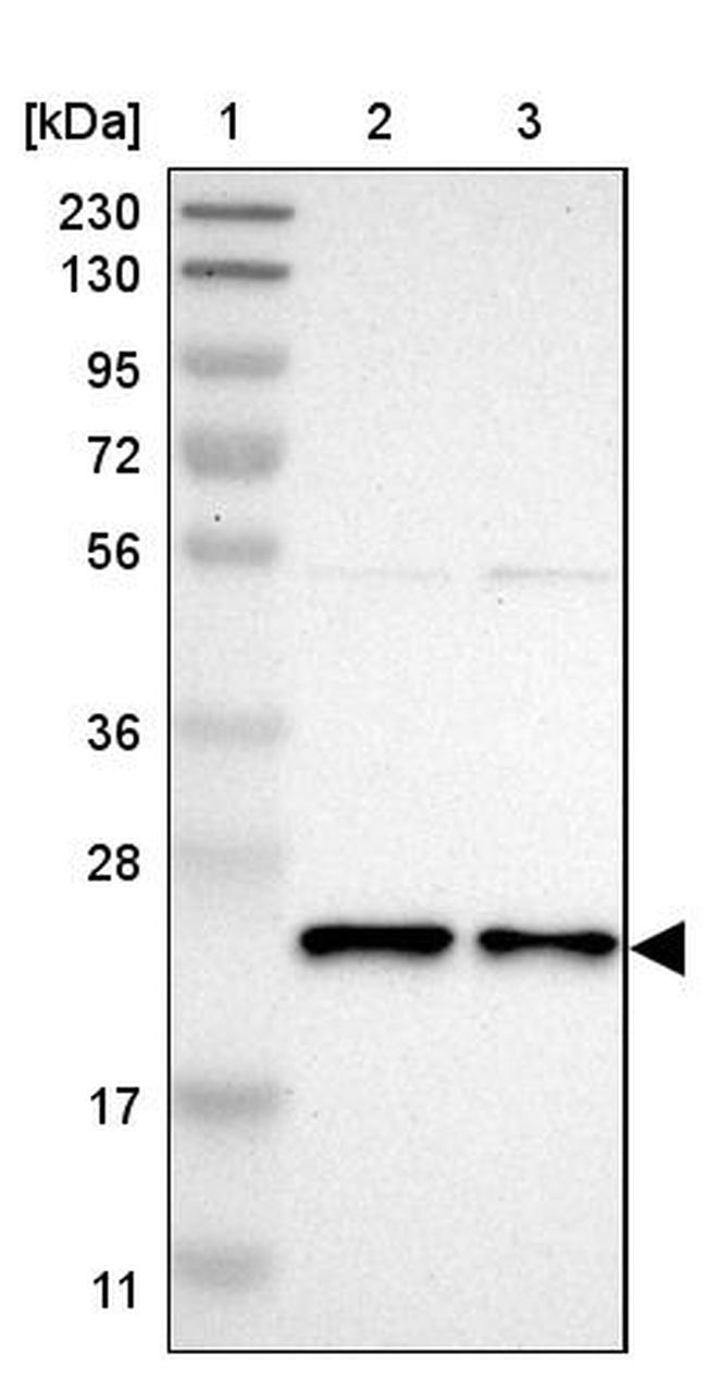 YIF1A Antibody in Western Blot (WB)