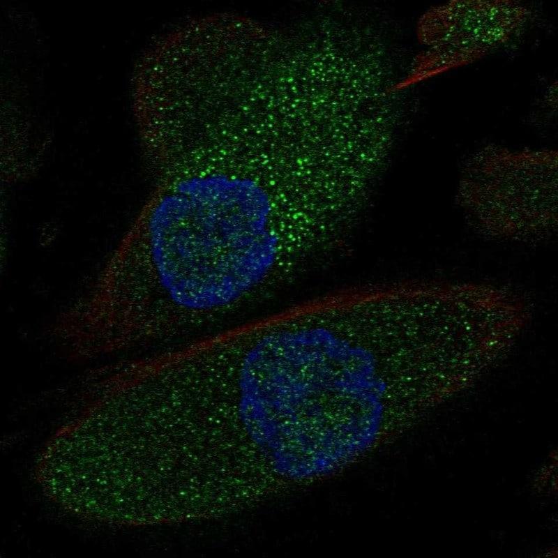 NKCC2 Antibody in Immunofluorescence (IF)