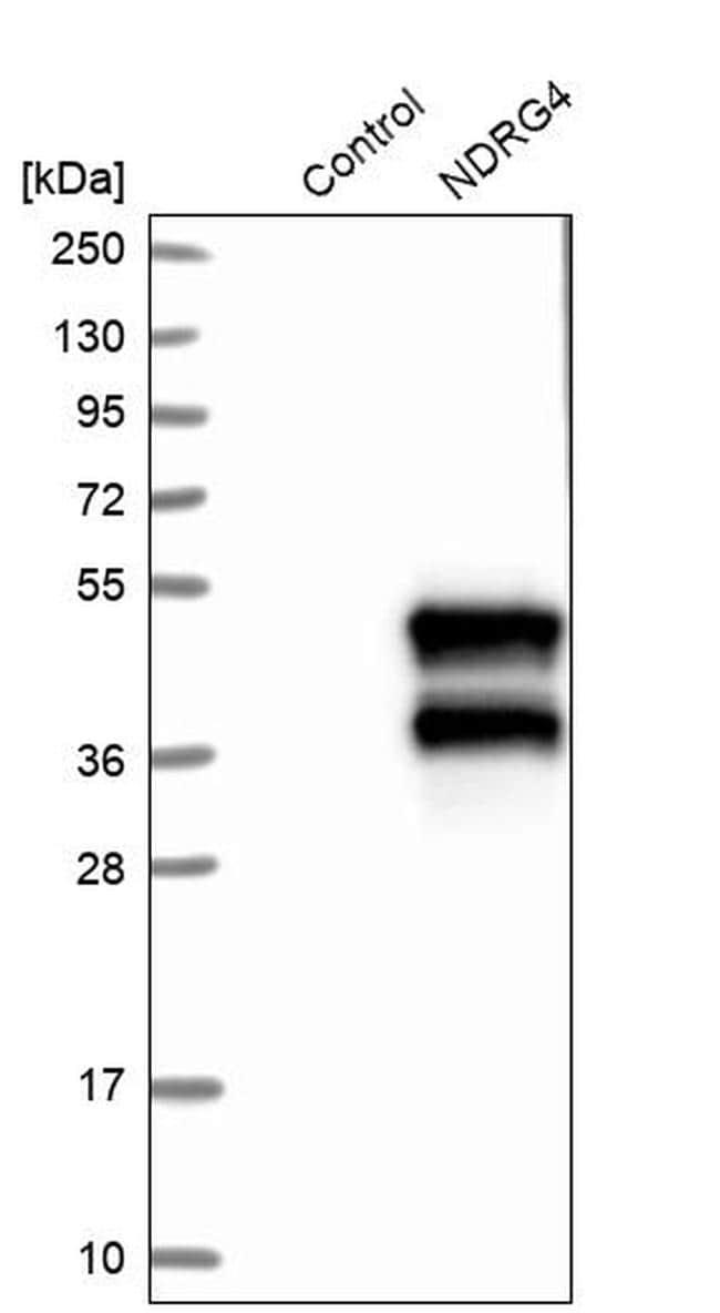 NDRG4 Antibody in Western Blot (WB)