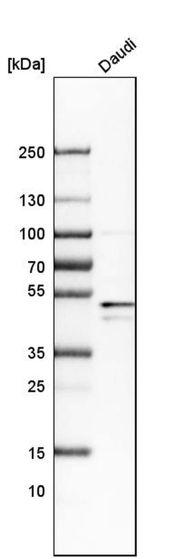 BAG5 Antibody in Western Blot (WB)