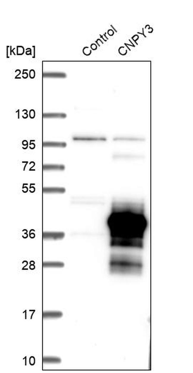 CNPY3 Antibody in Western Blot (WB)