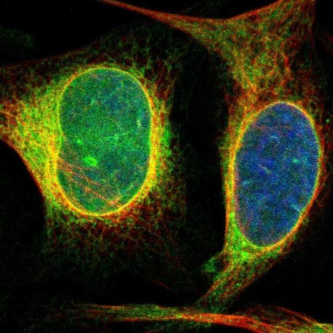 DERL1 Antibody in Immunofluorescence (IF)