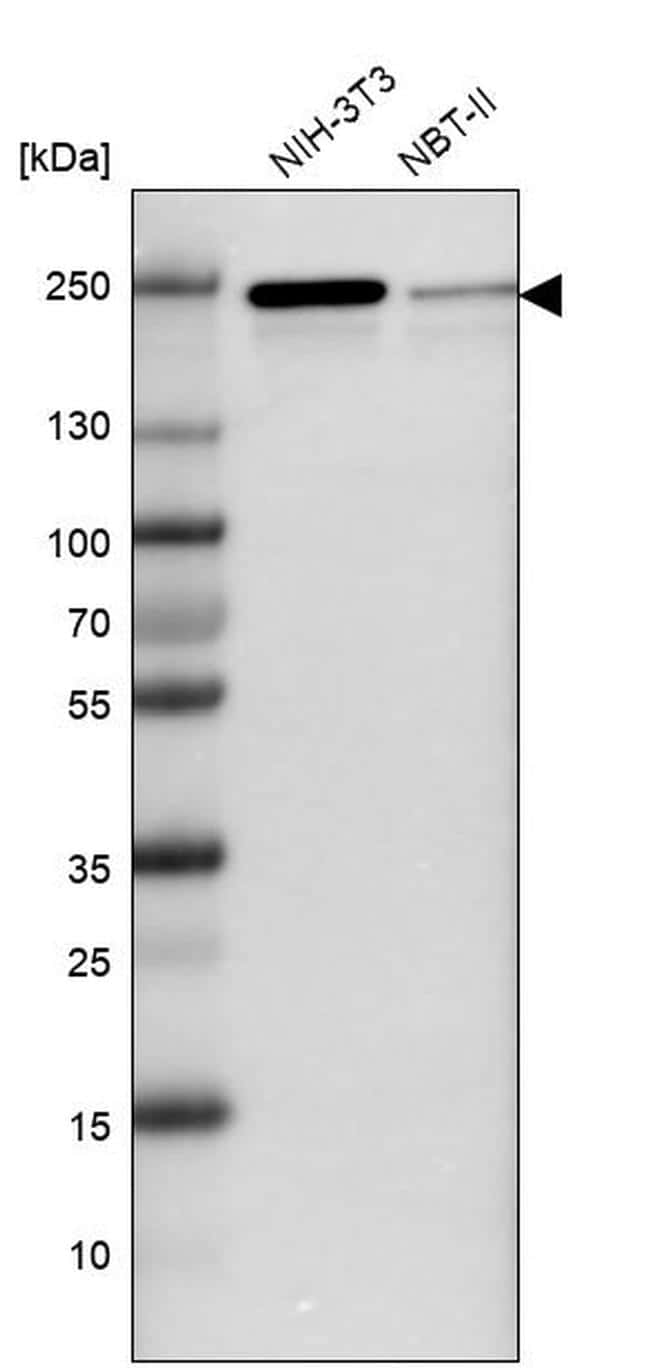 JMJD1B Antibody in Western Blot (WB)