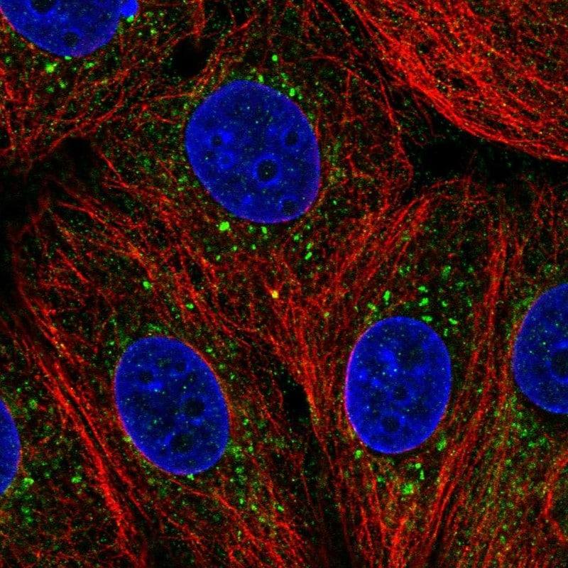 ZDHHC24 Antibody in Immunofluorescence (IF)