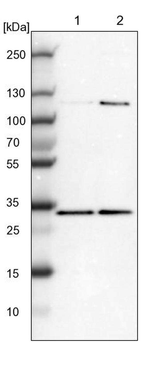 MRG Antibody in Western Blot (WB)