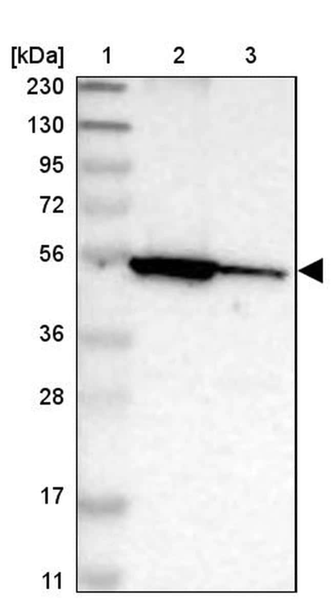 MLSTD2 Antibody in Western Blot (WB)
