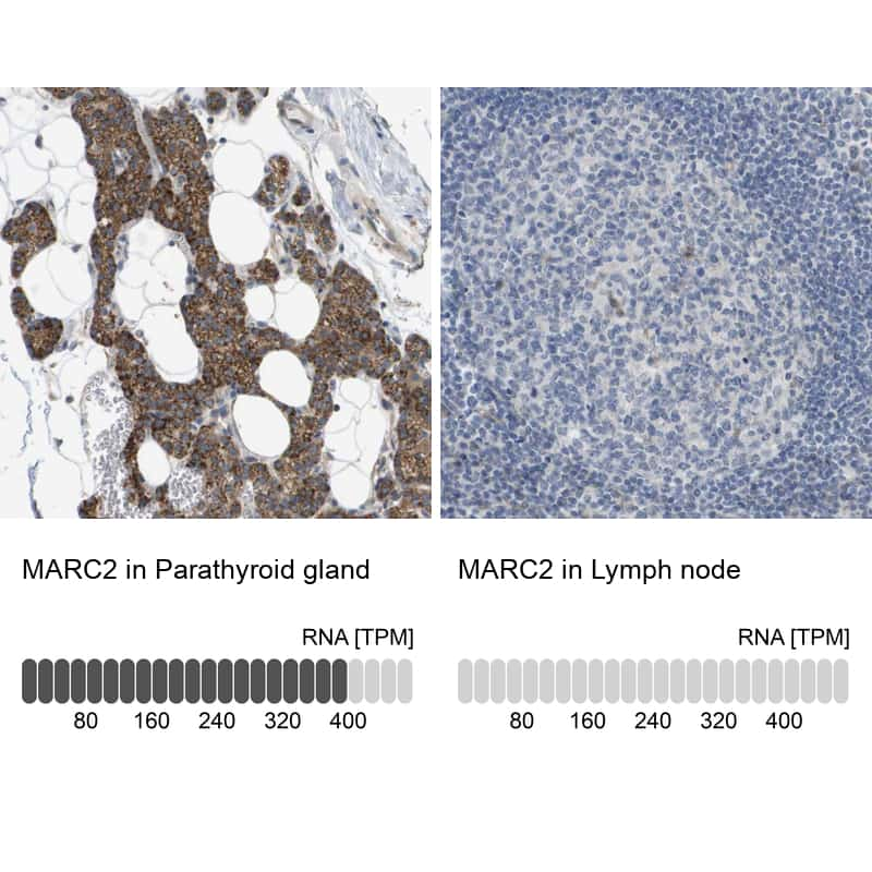 MOSC2 Antibody in Relative expression