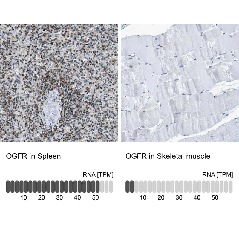 OGFR Antibody in Relative expression