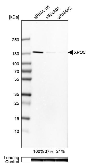XPO5 Antibody in Knockdown