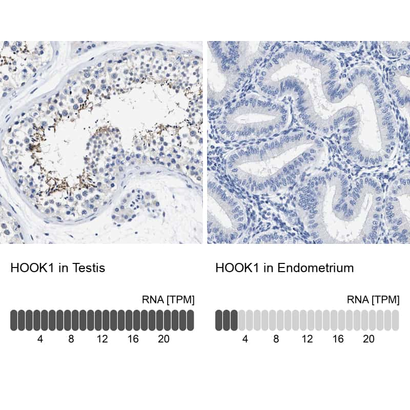 HOOK1 Antibody in Relative expression