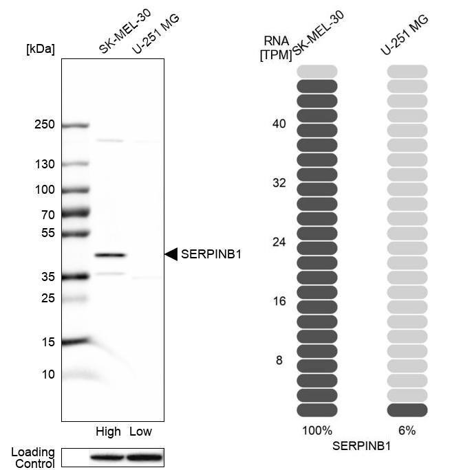 SERPINB1 Antibody in Relative expression