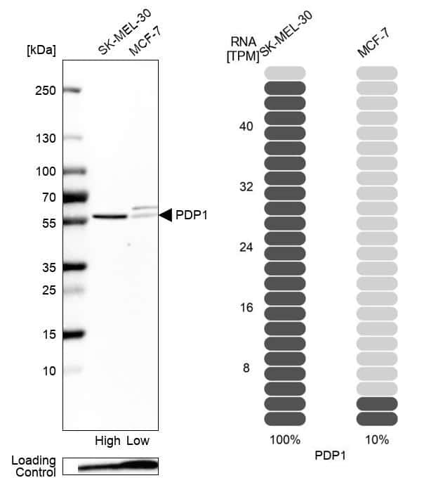 PDP1 Antibody in Relative expression