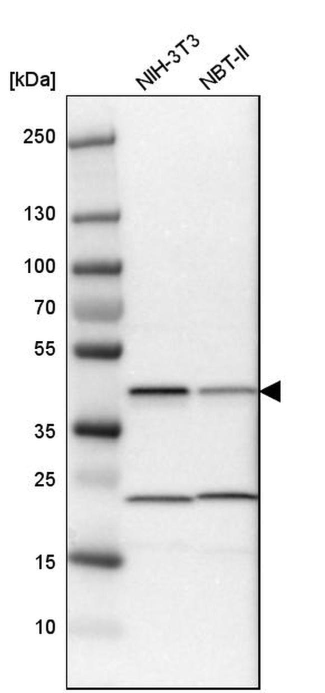 QKI Antibody in Western Blot (WB)