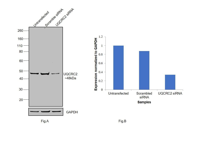 UQCRC2 Antibody in Knockdown