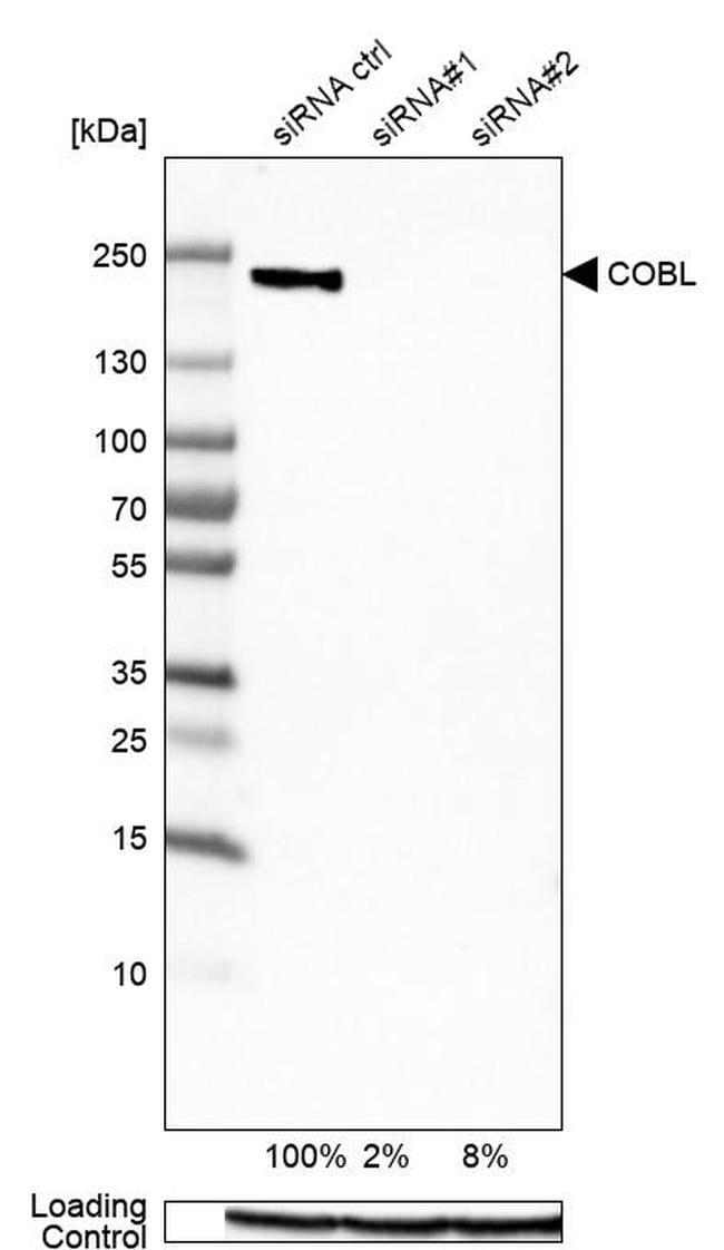 COBL Antibody in Western Blot (WB)