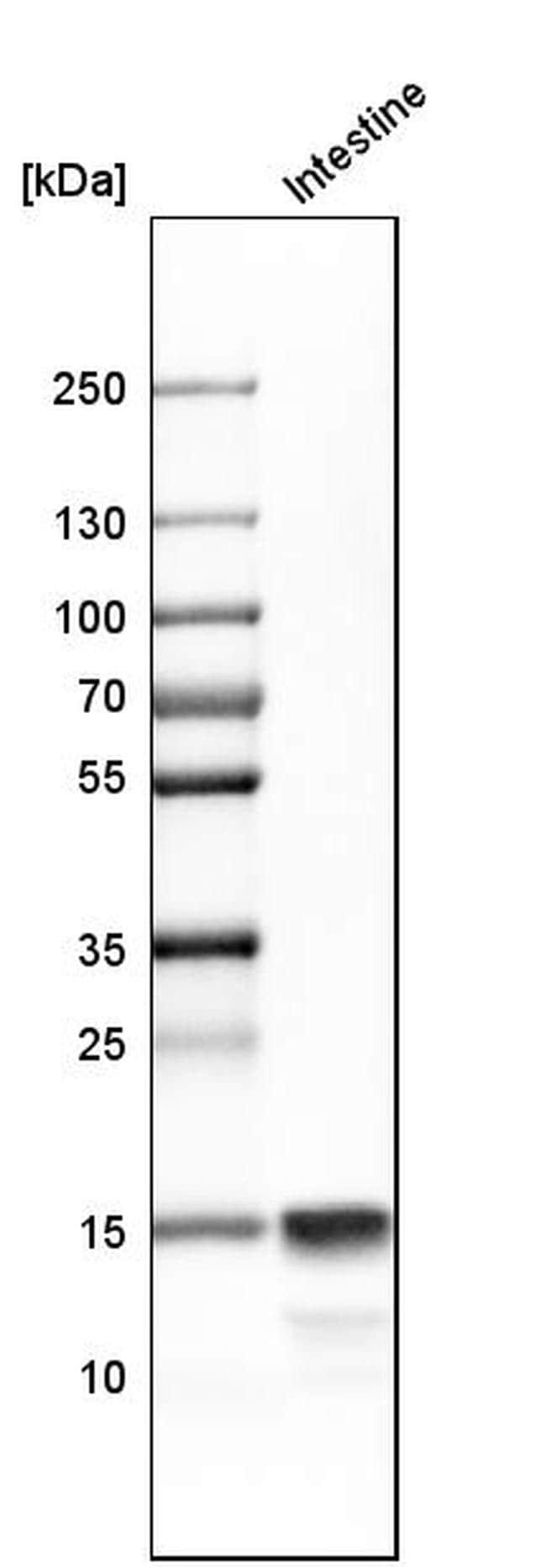 Defensin 6 Antibody in Western Blot (WB)
