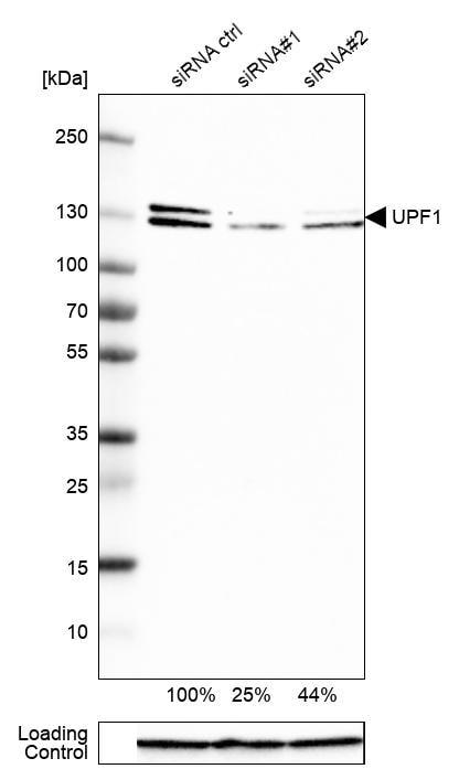 UPF1 Antibody in Knockdown