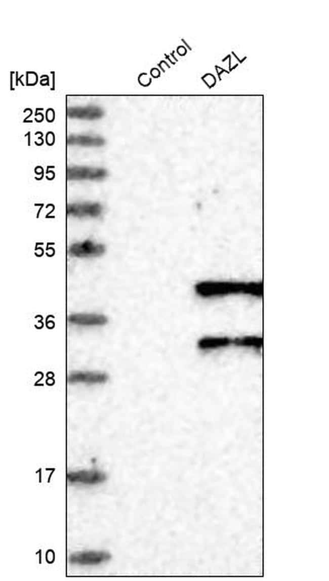 DAZL Antibody in Western Blot (WB)