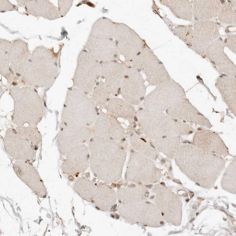 NPAS2 Antibody in Immunohistochemistry (IHC)