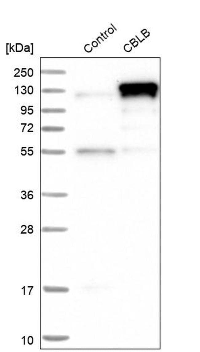 Cbl-b Antibody in Western Blot (WB)