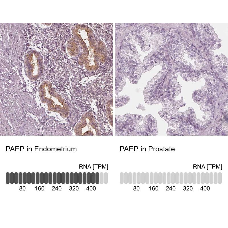 PAEP Antibody in Relative expression
