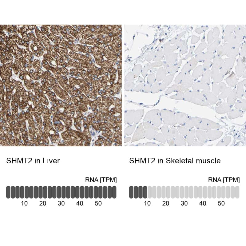 SHMT2 Antibody in Relative expression