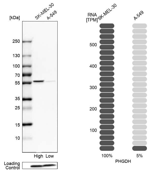 PHGDH Antibody in Relative expression