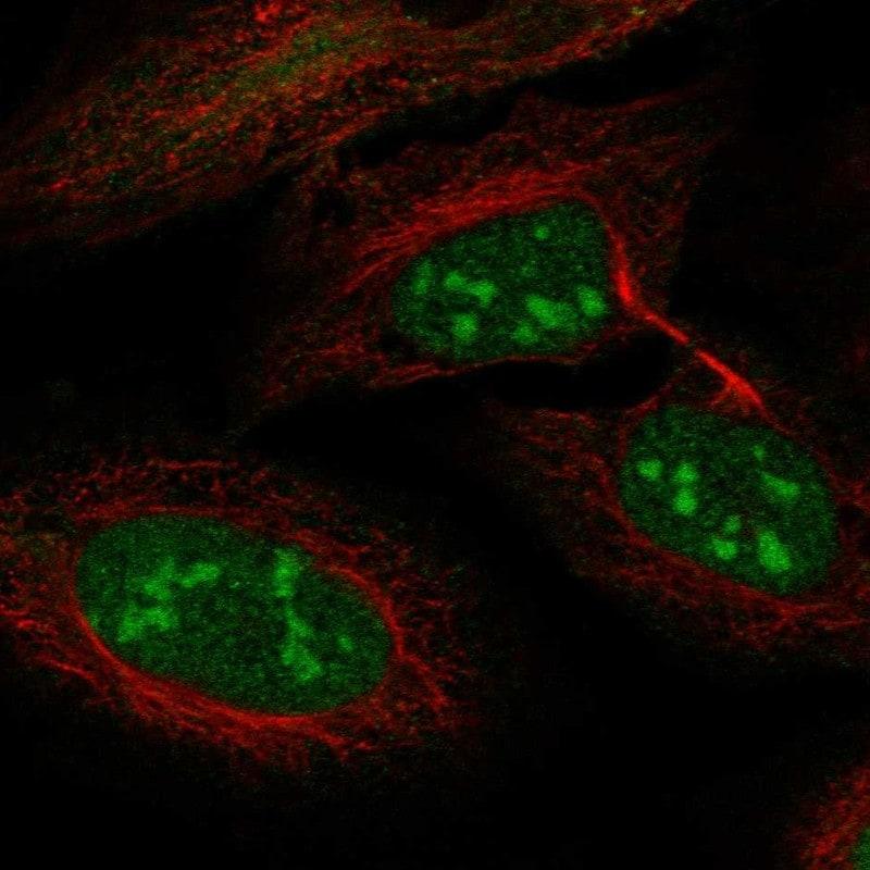 LRWD1 Antibody in Immunofluorescence (IF)
